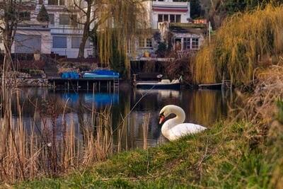 Schwan am See Grunewald