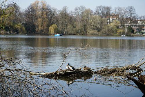berlin reinickendorf schaefersee enten nest